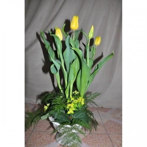 Chậu tulip