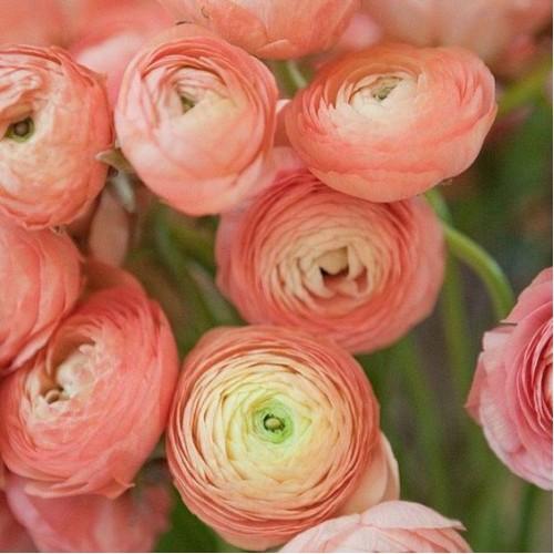 Những bông hoa rất nhiều tầng cánh hoa