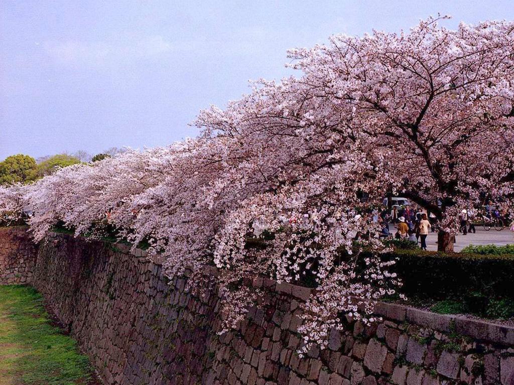 Hoa anh đao - Quốc hoa Nhật Bản
