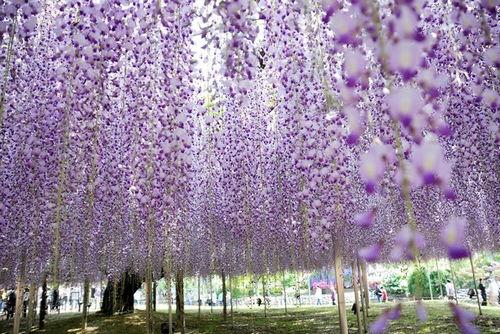 Công viên hoa Ashikage, Nhật Bản.