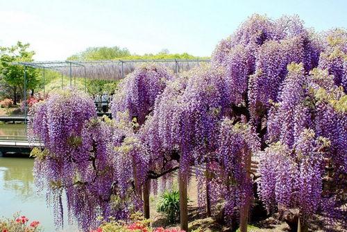 Công viên hoa Ashikage, Nhật Bản tử đằng tím