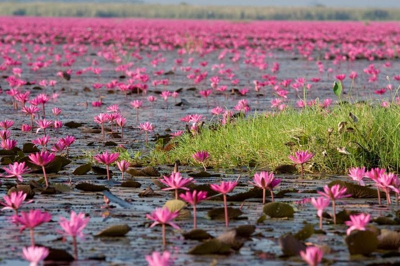Hồ hoa súng đỏ ở Kumphawapi Thái Lan Dịch vụ điện hoa Hà Nội – dịch ra tiếng việt theo CNN. 2