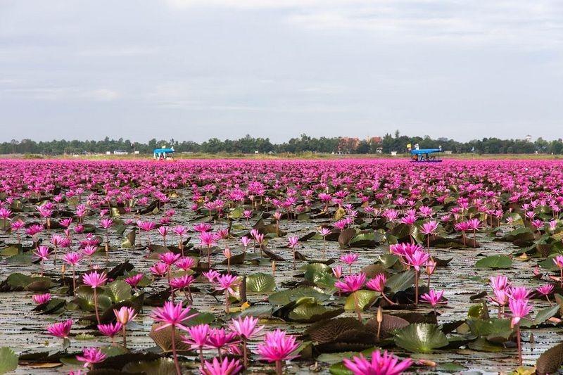 Hồ hoa súng đỏ ở Kumphawapi Thái Lan Dịch vụ điện hoa Hà Nội – dịch ra tiếng việt theo CNN. 6