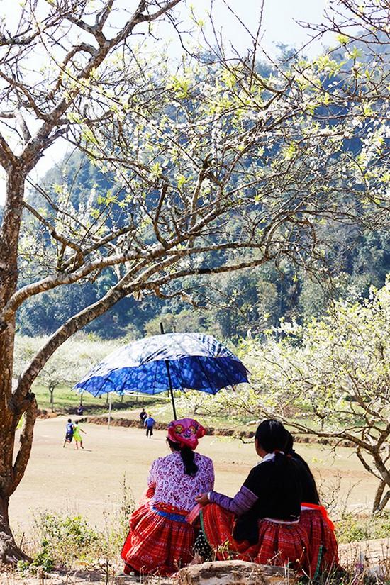 Mùa hoa mận nở trắng trời cao nguyên Mộc Châu